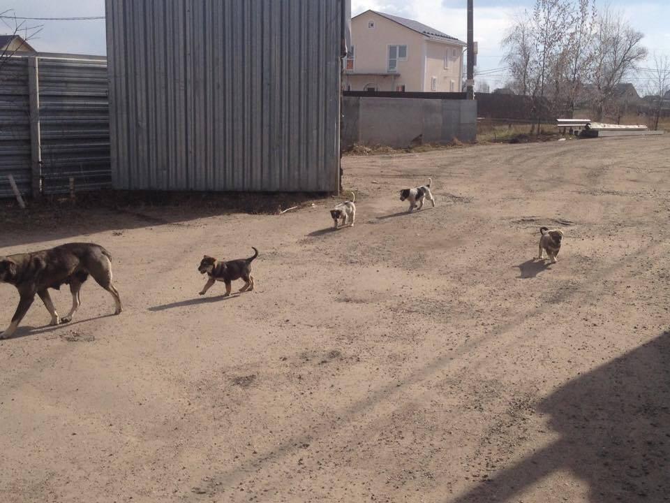 """Мама с щенками на фотографии может быть убита в любое время. Дубовая роща (Раменское, Московское область) переполнена стаями бездомных собак, которых регулярно отлавливают и отстреливают. Бездомные собаки там повсюду: на кладбище, рядом с церковью, магазинами, местными промышленными зонами. Мы начали помогать """"уличным"""" волонтерам, которые занимаются бездомными собаками в том районе, еще в 2013г., оплатив стерилизацию собак (предотвращая дальнейшее размножение) и лечение их щенков. Сейчас в планах экстренная стерилизация беременных собак, а так же уже родивших собак, чтобы предотвратить дальнейшее увеличение популяции бездомных собак и гибель щенков."""