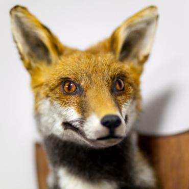 Оживить мертвую лисицу: мастер-класс по таксидермии в Лондоне