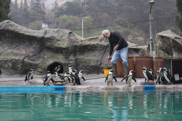 Директор тбилисского зоопарка Зураб Гуриелидзе и бристольские пингвины/British Embassy Tbilisi