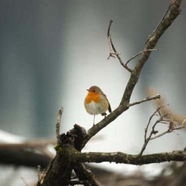 Что за птица поет в Лондоне зимой по ночам?