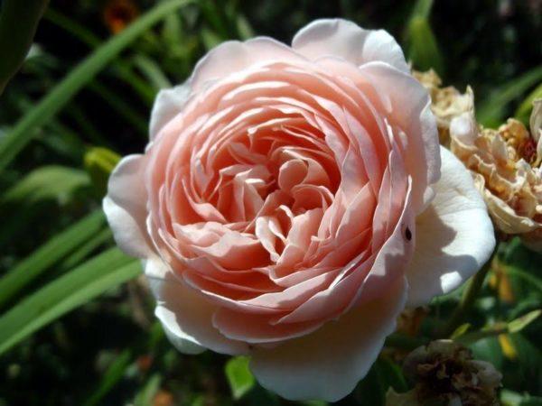 Самая дорогая роза мира - английская Джульетта