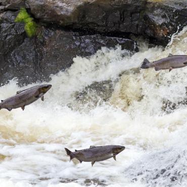 Почти 50 000 лососей сбежали с шотландской рыбной фермы
