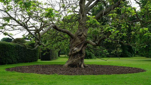 Старинное дерево