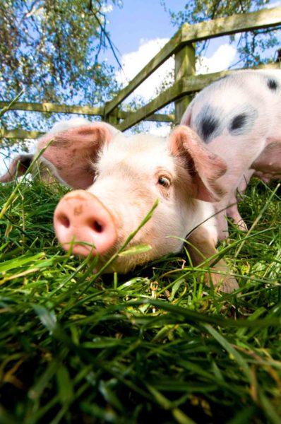 Свиньи породы «старая глостерская пятнистая» на ферме