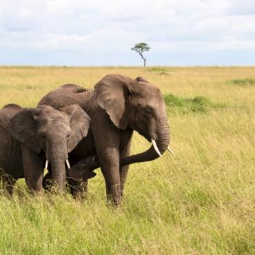 Стадо из 13 слонов перевезут из Англии в Африку, чтобы вернуть животных в дикую природу